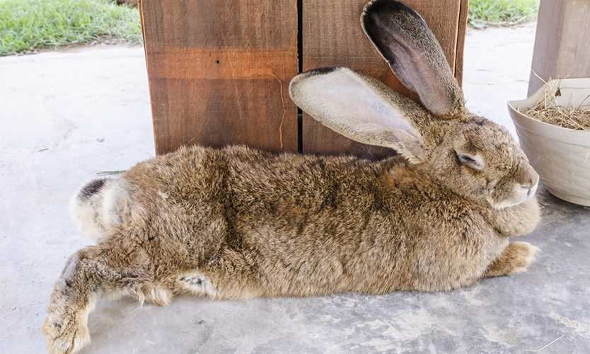 United Airlines sued by owners of giant rabbit found dead after flight