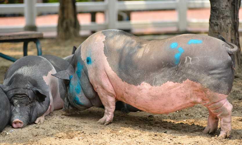 Sick pigs