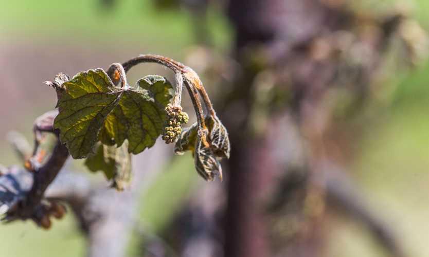 Frozen grapes