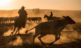 Australia cattle roundup