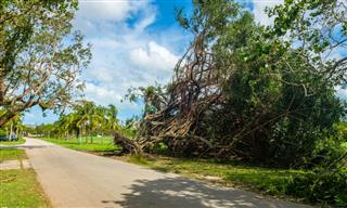 Uprooted banyan tree after Hurricane Irma