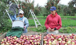 Orchard workers in Hamlin, New York