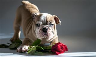 Bulldog Valentines