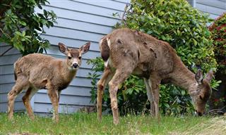 deer damage