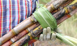 Worker holding sugar cane