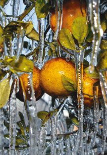 Old Man Winter puts squeeze on Florida orange growers