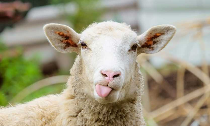 Sheep lynx Britain Off Beat